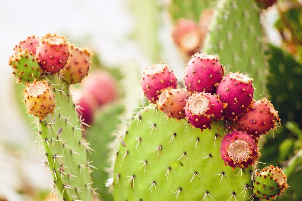 Why Eat Prickly Pear Cactus?